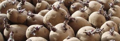 Seed Potatoes, Bulbs, Dahlias & Onion Sets